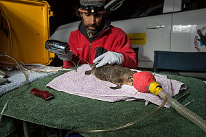 Researchers drying glue, whilst attaching a transponder to the tail an anaesthetised Platypus (Ornithorhynchus anatinus). This temporary radio transponder will allow researchers to track its movements...  -  Doug Gimesy