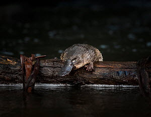 Young Platypus (Ornithorhynchus anatinus) is released onto a log in McMahons Creek, Yarra Ranges, Victoria, Australia. Photographed under controlled conditions . September. - Doug Gimesy