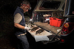 Ecologist analyses five dead platypuses (Ornithorhynchus anatinus) found drowned and found in two Opera House Nets used to trap yabby's (crayfish) placed illegally in Labertouche Creek, eastern Victor...  -  Doug Gimesy