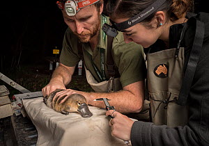 Platypus researchers holding a Platypus (Ornithorhynchus anatinus) and measuring bill length. It was captured as part of a Melbourne Water study to monitor the local population. Chum Creek, Healsville... - Doug Gimesy