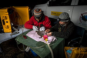 Two researchers examine an anaesthetised Platypus (Ornithorhynchus anatinus) and start to glue a temporary radio transponder to its tail, allowing researchers to track its movements. Snowy River banks...  -  Doug Gimesy