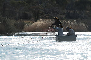 Researchers placing gill nets in the Snowy river to try and capture Platypus (Ornithorhynchus anatinus) Snowy River, Jindabyne, NSW, Australia. September, 2017. Model released.  -  Doug Gimesy