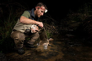 Platypus ecologist returning a male platypus (Ornithorhynchus anatinus) to a creek where it had been captured just 30 minutes earlier. Chum Creek, Healsville, Victoria, Australia. May 2017.Model relea...  -  Doug Gimesy
