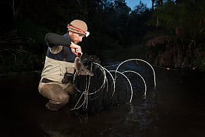 Patypus researcher from retrieving a platypus (Ornithorhynchus anatinus) from a Fyke net that was set up to capture and help monitor the local population. Upper Tarago River, Neerim, Victoria, Austral...  -  Doug Gimesy