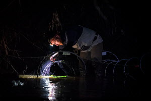 Platypus researcher checking fyke nets for platypuses (Ornithorhynchus anatinus) that were set up to capture and help monitor the local population. Beaconsfield, Victoria, Australia. June 2017. Model...  -  Doug Gimesy
