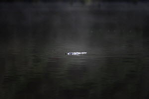 Platypus (Ornithorhynchus anatinus) in the early morning light on Lake Elizabeth (Great Otway National Park), near Forrest, Victoria, Australia, a remote mountain lake formed by a landslide. July.  -  Doug Gimesy