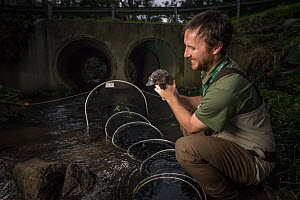 Platypus researcher retrieving a platypus (Ornithorhynchus anatinus) from a net that was set up just 1 hour earlier to capture and help monitor the local population. Chum Creek, Healsville, Victoria,... - Doug Gimesy