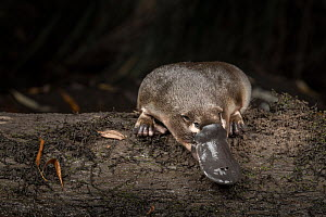 Platypus (Ornithorhynchus anatinus), just released onto a log in Little Yarra River, Yarra junction, Victoria, Australia. April. Controlled conditions. - Doug Gimesy