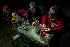 Two researchers examining an anaesthetised platypus (Ornithorhynchus anatinus) and starting to glue a temporary radio transponder to its tail, allowing researchers to track its movements. Snowy River... - Doug Gimesy