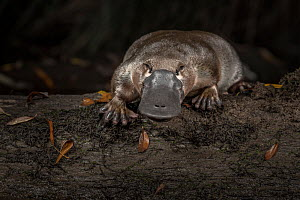 Platypus (Ornithorhynchus anatinus), released onto a log in Little Yarra River, Yarra junction, Victoria, Australia. Photographed under controlled conditions. April 2018. - Doug Gimesy