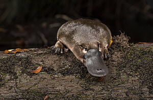 Platypus (Ornithorhynchus anatinus) just released onto a log in Little Yarra River, Yarra Junction, Victoria, Australia. April 2018. Controlled conditions. - Doug Gimesy