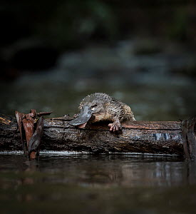 Young Platypus (Ornithorhynchus anatinus) just released onto a log in McMahons Creek, Yarra Ranges, Victoria, Australia. Photographed under controlled conditions. September 2017.  -  Doug Gimesy
