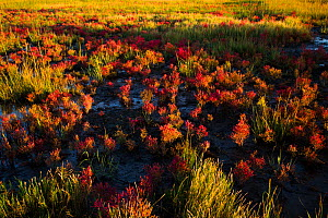 Glasswort (Salicornia sp.) in autumn red, growing in salt marsh adjacent to Long Island Sound, Connecticut, USA. October.  -  Lynn M. Stone