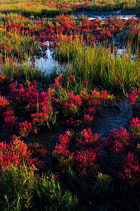 Glasswort (Salicornia sp.) in autumn red, growing in salt marsh pannes adjacent to Long Island Sound, Connecticut, USA. October.  -  Lynn M. Stone