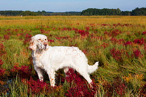 English Setter in salt marsh with red Glasswort, Connecticut, USA. October.  -  Lynn M. Stone
