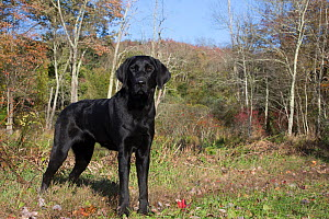 Black Labrador Retriever standing at the edge of a woodland, Connecticut, USA. October. - Lynn M. Stone