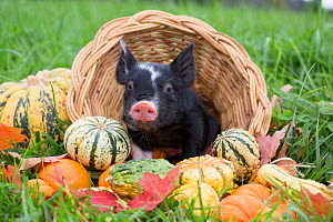 Berkshire piglet in a basket among squashes in early autumn; Rhode Island, USA. October.  -  Lynn M. Stone