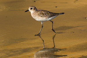 Western Willet (Tringa semipalmata inornata), in winter plumage, foraging on sandy beach in late afternoon, Santa Barbara, California, USA. October.  -  Lynn M. Stone