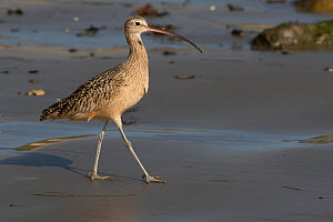 Long-Billed Curlew (Numenius americanus)walking, in winter plumage, foraging on sandy beach; Santa Barbara, California, USA. October.  -  Lynn M. Stone