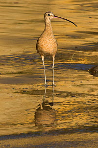 Long-Billed Curlew (Numenius americanus) in winter plumage, foraging on sandy beach for sand crabs; Santa Barbara, California, USA. October.  -  Lynn M. Stone