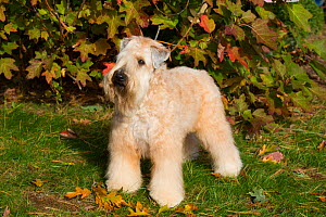 Soft Coated Wheaten Terrier standing in autumn foliage, Connecticut, USA. October.  -  Lynn M. Stone