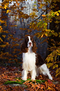 English Springer spaniel standing in autumn woodland, Cockaponset State Forest, Connecticut, USA. November. - Lynn M. Stone
