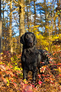 Black Flat-Coated Retriever standing among autumn foliage, Cockaponset State Forest, Connecticut, USA. November. - Lynn M. Stone