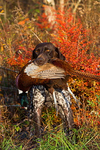 German Shorthair Pointer with Ring-Necked pheasant in mouth, Connecticut, USA. November. - Lynn M. Stone