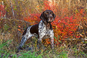 German Shorthair Pointer in autumn, Connecticut, USA. November. - Lynn M. Stone