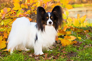 Papillon standing among autumn leaves, Connecticut, USA. November. - Lynn M. Stone