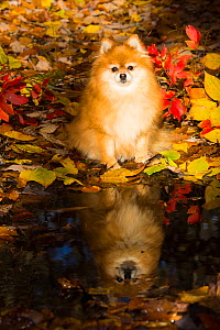 Pomeranian dog sitting by pond with reflection surrounded by autumn vegetation, early November; Cockaponset State Forest, Connecticut, USA. - Lynn M. Stone
