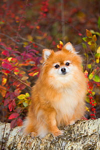 Pomeranian dog against autumn vegetation, early November; Cockaponset State Forest, Connecticut, USA. - Lynn M. Stone