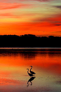 Two Great egrets (Ardea alba) at dawn, low tide; St. Petersburg, Florida, USA. November.  -  Lynn M. Stone