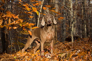 Weimaraner (male) in deciduous woodland, Cockaponset State Forest, Connecticut, USA. November. - Lynn M. Stone