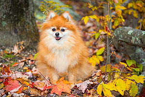 Pomeranian in autumn leaves, Cockaponset State Forest, Connecticut, USA. November. - Lynn M. Stone
