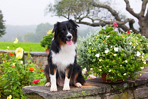 Australian Shepherd Dog in early autumn, Connecticut, USA. October. - Lynn M. Stone
