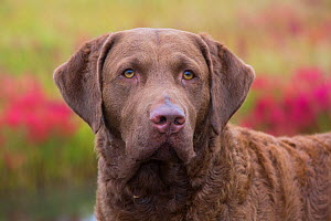 Chesapeake Bay Retriever portrait, USA. - Lynn M. Stone