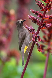 Cape bulbul (Pycnonotus capensis) feeding on flowers, Kirstenbosch Botanical Gardens, Cape Town, South Africa, September  -  Ann  & Steve Toon
