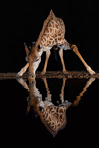 Giraffe (Giraffa camelopardalis) drinking at night, Zimanga private game reserve, KwaZulu-Natal, South Africa August  -  Ann  & Steve Toon