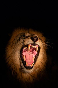 Lion (Panthera leo) male snarling at night, Zimanga private game reserve, KwaZulu-Natal, South Africa, September  -  Ann  & Steve Toon