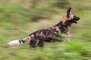 African wild dog (Lycaon pictus) running, blurred motion, Zimanga private game reserve, KwaZulu-Natal, South Africa, August - Ann  & Steve Toon