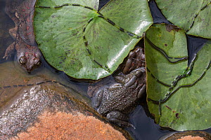 Eastern olive toads (Amietophrynus garmani) mating, with spawn chains, Zimanga private game reserve, KwaZulu-Natal, South Africa, September  -  Ann  & Steve Toon