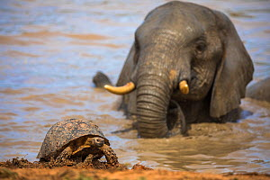 Leopard / mountain tortoise (Stigmochelys pardalis) with elephant bull (Loxodonta africana) behind in water, Addo elephant national park, Eastern Cape, South Africa, September - Ann  & Steve Toon