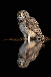 Spotted eagle owl (Bubo africanus) subadult at nigh by water, Zimanga private game reserve, KwaZulu-Natal, South Africa, September  -  Ann  & Steve Toon