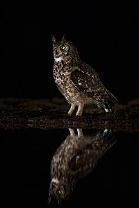 Spotted eagle owl (Bubo africanus) at night, Zimanga private game reserve, KwaZulu-Natal, South Africa, September - Ann  & Steve Toon
