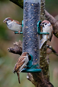 House sparrows (Passer domesticus) and tree sparrow (Passer montanus) (right), Caerlaverock WWT, Dumfries & Galloway, Scotland, UK, October - Ann  & Steve Toon