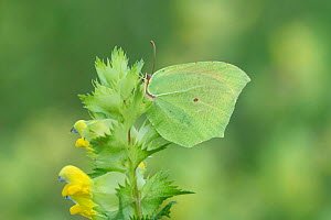 Cleopatra butterfly (Gonepteryx cleopatra) on Yellow rattle, French Pyrenees, France. May  -  Robert  Thompson