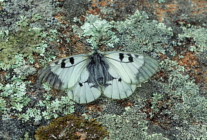 Clouded apollo butterfly (Parnassius mnemosyne) French Pyrenees. May  -  Robert  Thompson