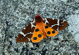 Great tiger moth (Arctia caja americana) Lac-Drolet, province, Quebec, Canada November  -  Robert  Thompson