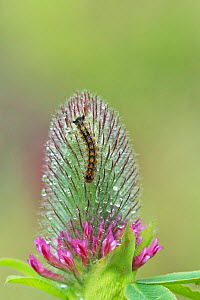 Gypsy moth larvae (Lymantria dispar) on flower, Catllar, French Pyrenees, France. May  -  Robert  Thompson